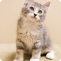 Maine Coon Kitten for adoption in Chicago, Illinois - Purrington
