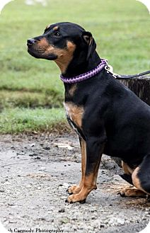 Rottweiler Mix Dog for adoption in Jacksonville, North Carolina - Nancy