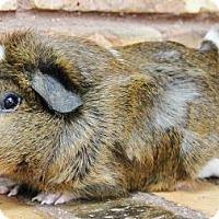 Adopt A Pet :: Russell - Benbrook, TX