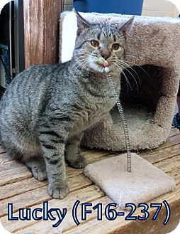 American Shorthair Cat for adoption in Tiffin, Ohio - Lucky