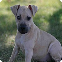 Pit Bull Terrier Dog for adoption in Decatur, Illinois - CHICO