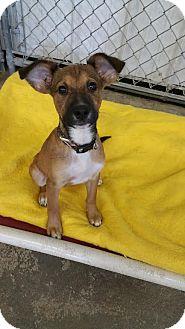 Terrier (Unknown Type, Small)/Chihuahua Mix Puppy for adoption in Baudette, Minnesota - JOSE