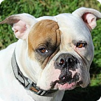American Bulldog Dog for adoption in Troy, Illinois - Cash