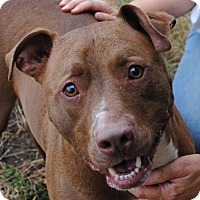Pit Bull Terrier Mix Dog for adoption in Anniston, Alabama - Barney