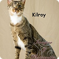 Domestic Shorthair Cat for adoption in Oklahoma City, Oklahoma - Kilroy