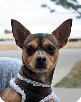 Chihuahua/Miniature Pinscher Mix Dog for adoption in Fort Madison, Iowa - Little Girl