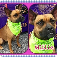 Boxer/Boston Terrier Mix Dog for adoption in North Richland Hills, Texas - Millie  CSR# 743