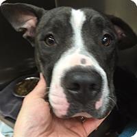 Adopt A Pet :: Bella - Fort Collins, CO