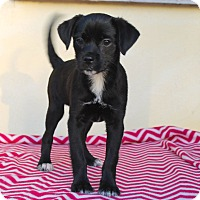 Adopt A Pet :: Caylee - Los Angeles, CA