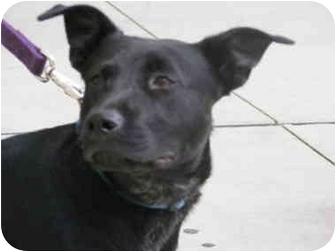 French Bulldog Labrador Retriever Mix Puppy For Adoption