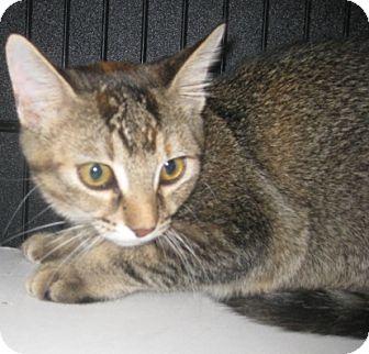 Bengal Kitten for adoption in Dallas, Texas - Vegas