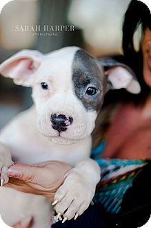 American Pit Bull Terrier Mix Puppy for adoption in Reisterstown, Maryland - White & Blue Male Puppies