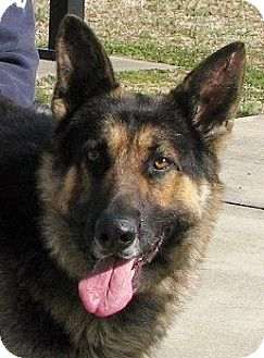 German Shepherd Dog Dog for adoption in Nashville, Tennessee - Bear