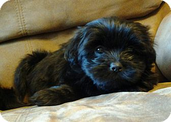 Shih Tzu/Yorkie, Yorkshire Terrier Mix Puppy for adoption in Somers, Connecticut - Sophie - ADOPTION PENDING