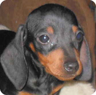 Dachshund Puppy for adoption in MINNEAPOLIS, Kansas - Engel