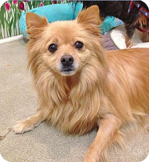 Pomeranian Dog for adoption in Studio City, California - Walter