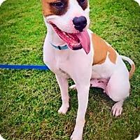 Adopt A Pet :: Gordon - Villa Park, IL