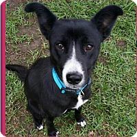 Adopt A Pet :: Ruby - Pflugerville, TX