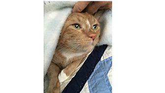 Domestic Shorthair Cat for adoption in Ortonville, Michigan - Leo