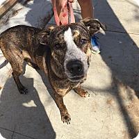 Adopt A Pet :: Chase - Brea, CA