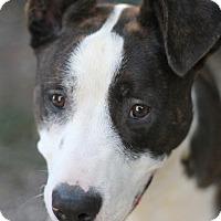 Adopt A Pet :: Bowser - Goleta, CA