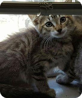 Domestic Shorthair Kitten for adoption in Fresno CA, California -
