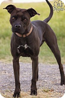 American Pit Bull Terrier/Boxer Mix Dog for adoption in Pryor, Oklahoma - Scooch