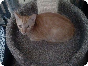Domestic Shorthair Kitten for adoption in YOUNGTOWN, Arizona - Milo