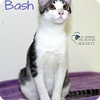 Domestic Shorthair Kitten for adoption in Covington, Louisiana - Bash