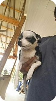 Chihuahua Mix Dog for adoption in Wyanet, Illinois - Bessie
