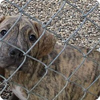 Adopt A Pet :: Sarge - Saleigh Pup - Clear Lake, IA