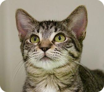 Domestic Shorthair Cat for adoption in Red Bluff, California - Matilda