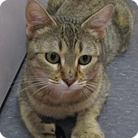 Adopt A Pet :: Isabelle (pure Bengal Bobtail) - Witter, AR