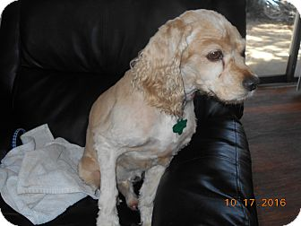Cocker Spaniel Dog for adoption in haslet, Texas - murphy