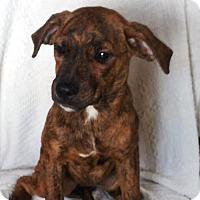 Adopt A Pet :: Skyy (MD-Kelly) - Newark, DE