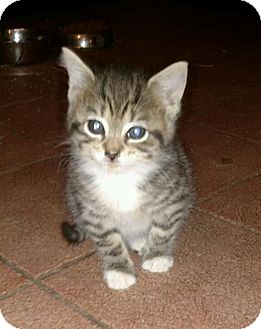Domestic Mediumhair Kitten for adoption in Hewitt, New Jersey - Fonzie