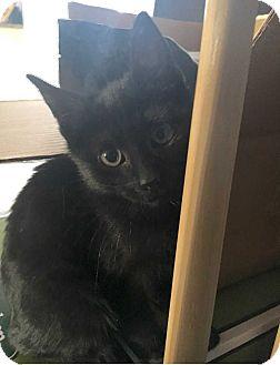 Domestic Shorthair Cat for adoption in Denver, Colorado - Nugget