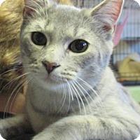 Domestic Shorthair Kitten for adoption in Reeds Spring, Missouri - Albus