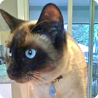 Siamese Cat for adoption in Davis, California - Leeloo