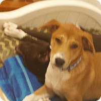 Adopt A Pet :: Bretagne (pronounced Brittany) - Flemington, NJ