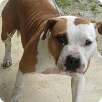 English Bulldog Mix Dog for adoption in Rocky Mount, North Carolina - Zahara