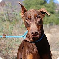 Adopt A Pet :: Dewey - Fillmore, CA