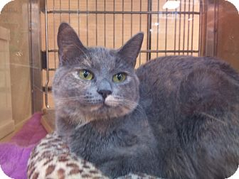 Calico Cat for adoption in Modesto, California - Addie