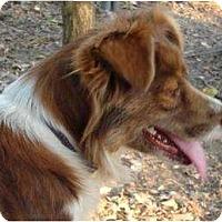 Adopt A Pet :: Pippa - Afton, TN