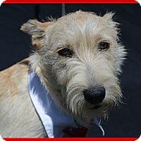 Adopt A Pet :: Brutus - Plano, TX