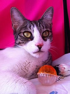 Domestic Shorthair Cat for adoption in Long Beach, California - Bodhi