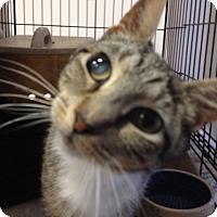 Domestic Shorthair Cat for adoption in Philadelphia, Pennsylvania - Charlotte