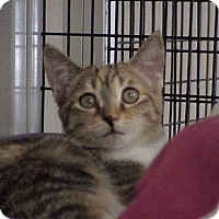 Calico Cat for adoption in Deerfield Beach, Florida - Tallulah
