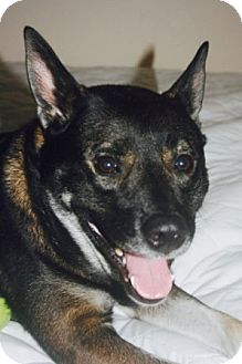 Norwegian Elkhound/Hound (Unknown Type) Mix Dog for adoption in Youngstown, Ohio - Bruiser