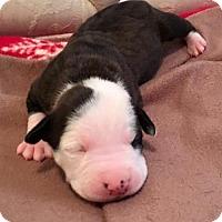 Adopt A Pet :: Faith - Belleville, MI